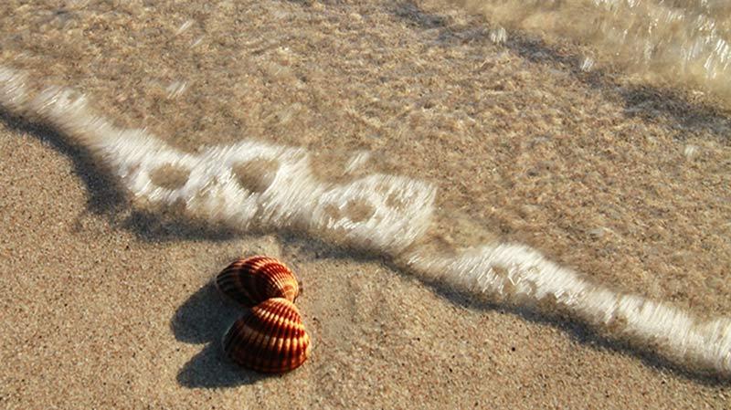 coquillage sur la plage en Corse