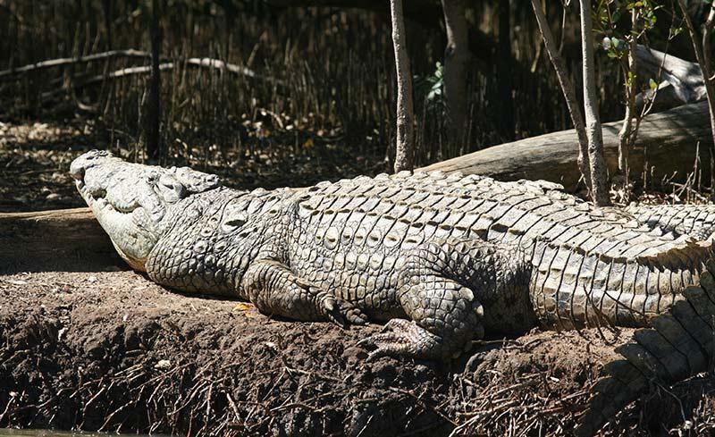 crocodile santa lucia afrique du sud