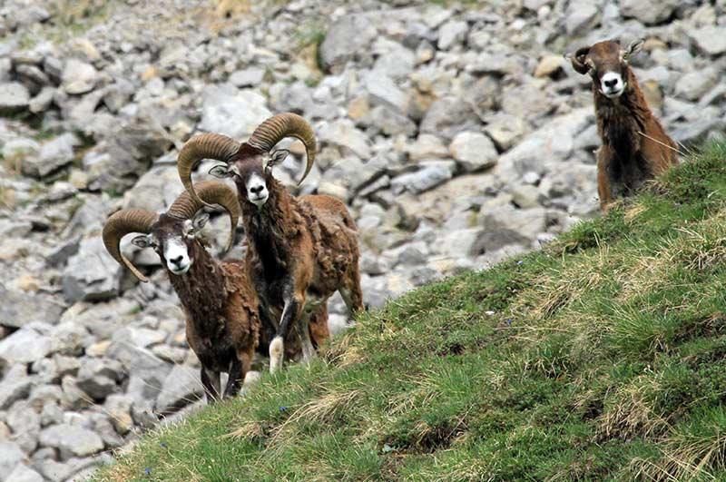 faune du queyras : mouflons