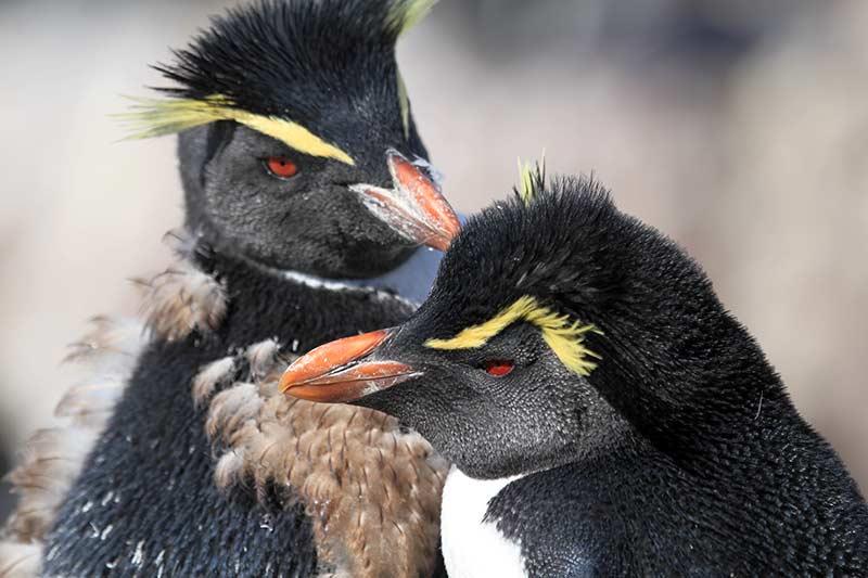 gorfou isla pingüino