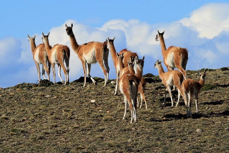 guanacos argentine patagonie