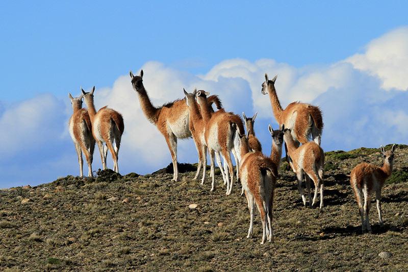 guanacos au bord de la piste en patagonie
