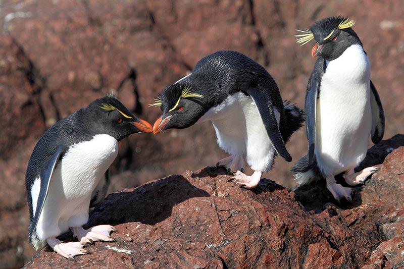 Isla Pingüino gorfous sauteurs