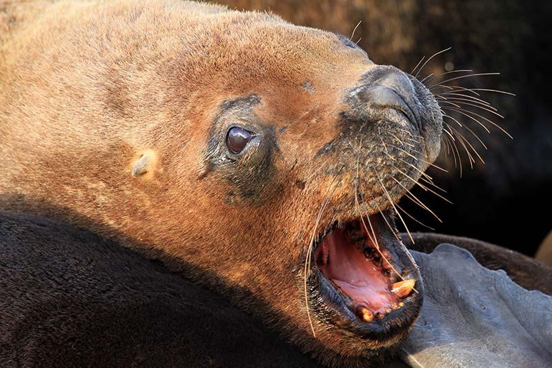 lions de mer patagonie