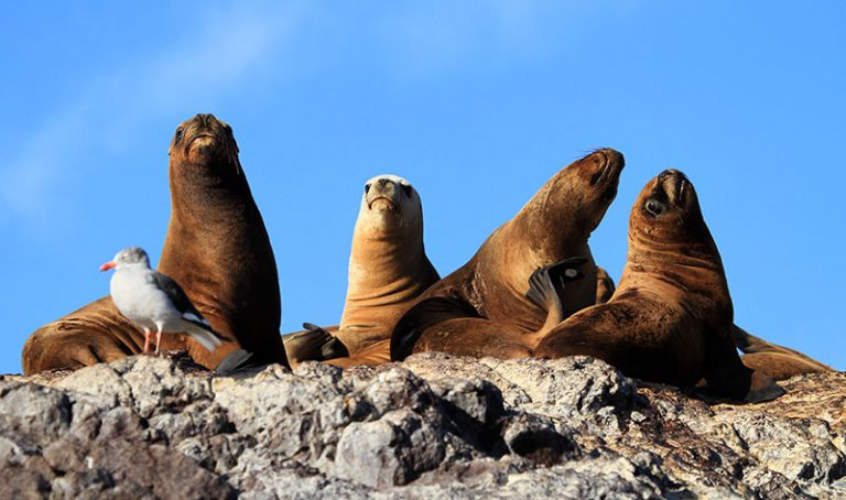 lions de mer Puerto Deseado