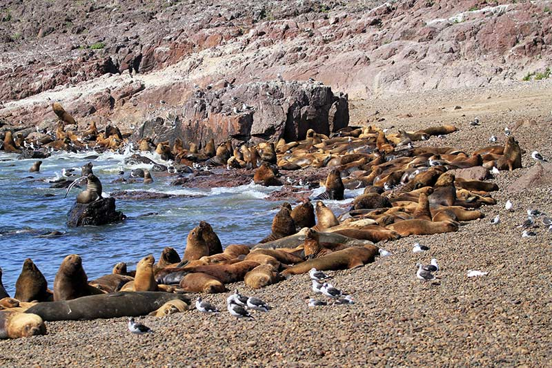 lions de mer isla pinguino