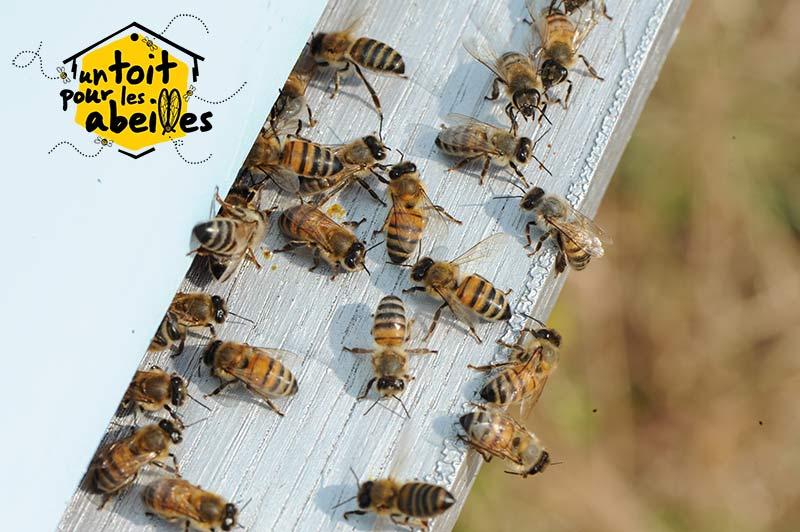 lutter contre la disparition des abeilles