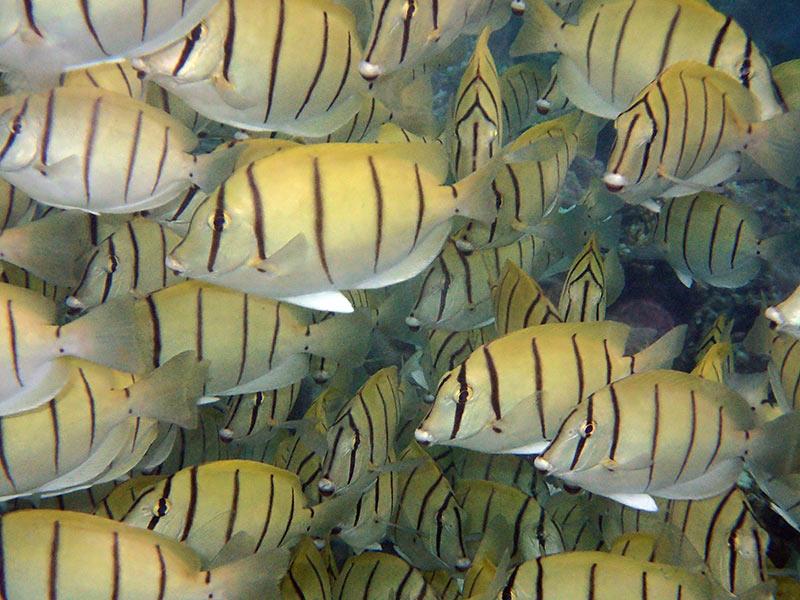 Maldives banc de poissons