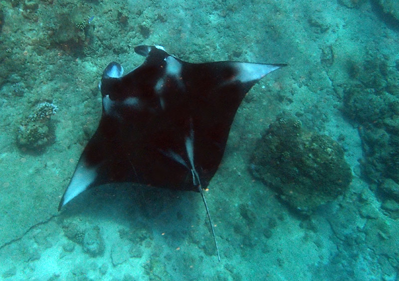 maldives raie manta