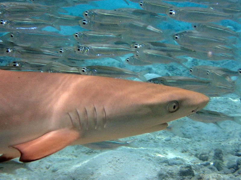 Maldives requin pointe noire