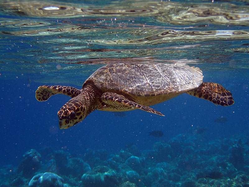 Maldives tortue de mer
