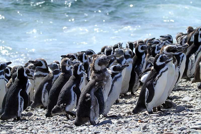 manchots de Magellan Isla Pingüino