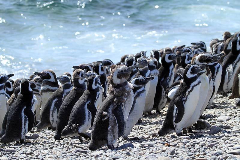 manchots patagonie
