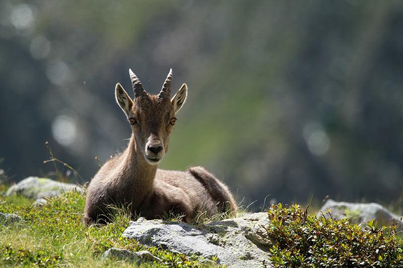 montagne faune sauvage