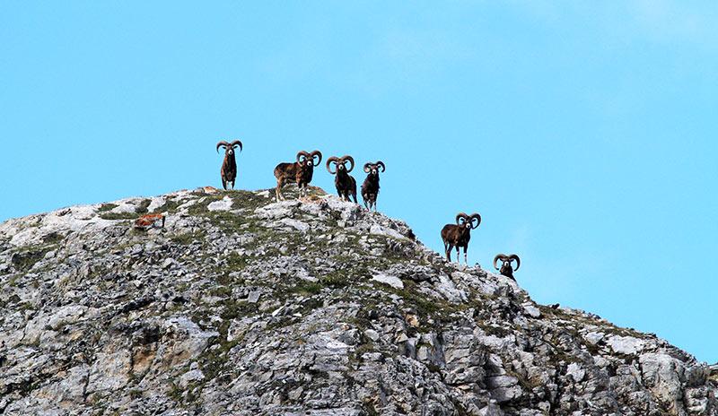 mouflons chalets de clapeyto Queyras