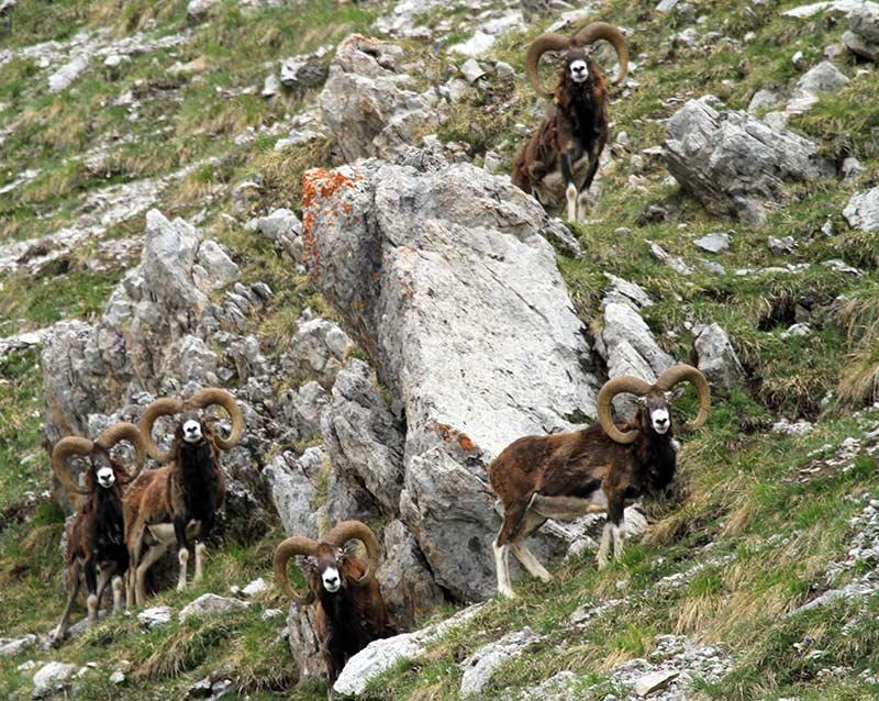 mouflons du Queyras