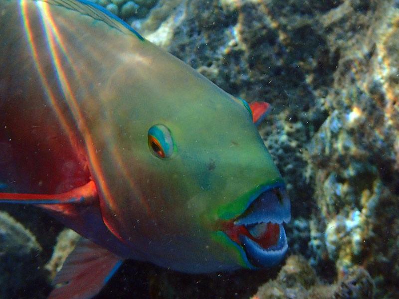 poisson-perroquet Maldives