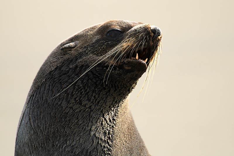portrait lion de mer argentine