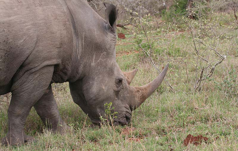 rhinocéros afrique du sud