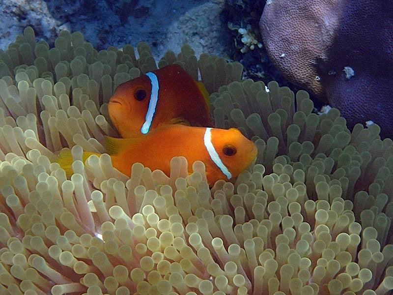 séjour au Vilamendhoo snorkeling