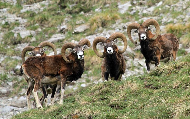 tête-à-tête avec les mouflons, faune du Queyras