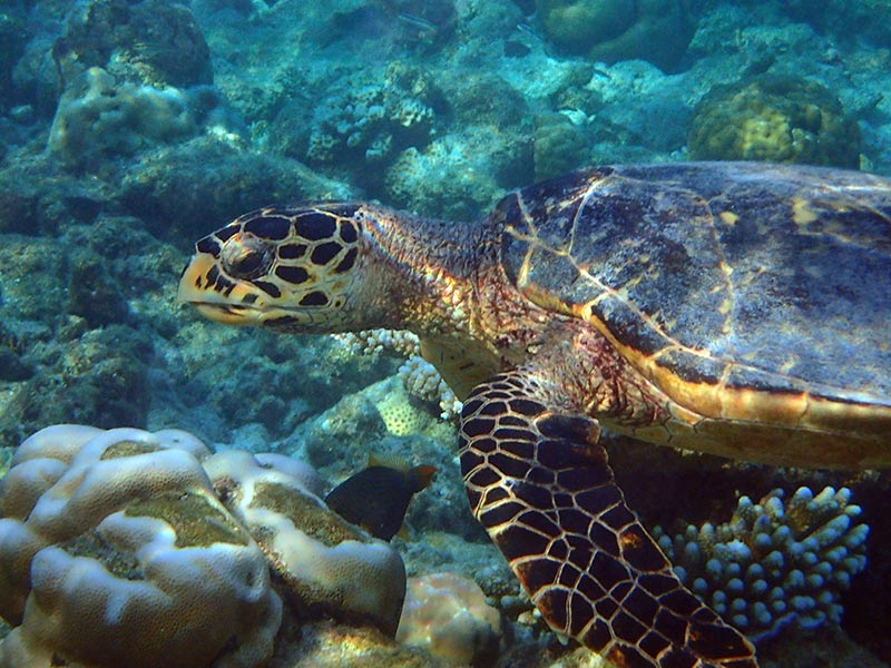 tortue Maldives