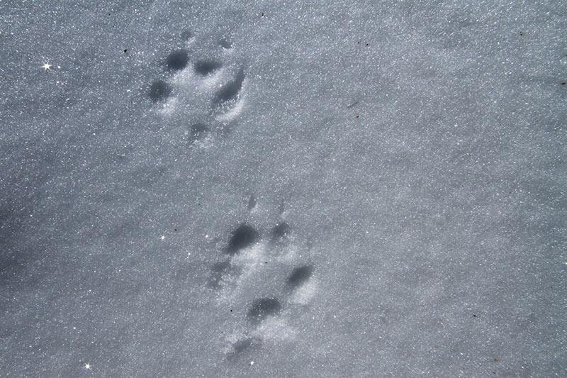trace animal neige