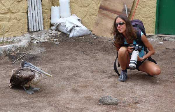Galapagos : proximité d'un pélican, même en ville