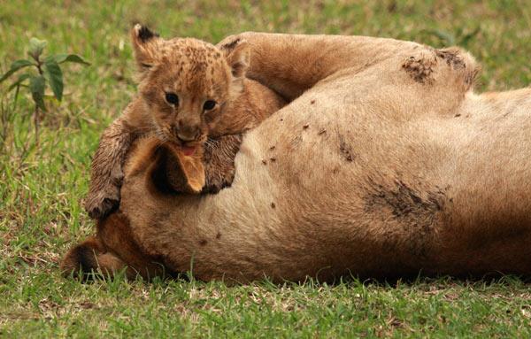 bébé lion safari en afrique