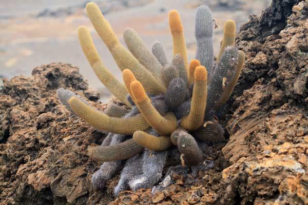 Cactus de lave sur Bartolomé aux Galapagos