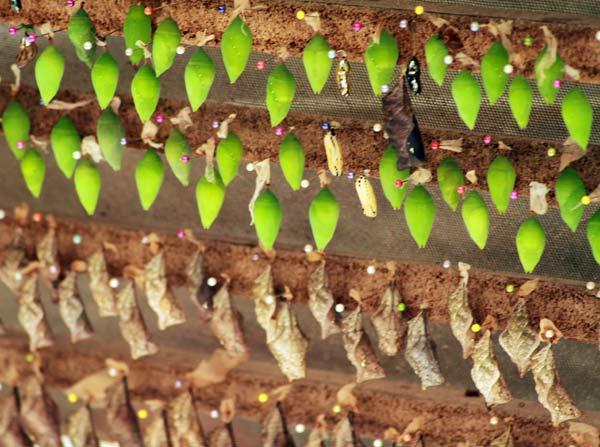 Cocons de papillons dans une mariposa à Mindo