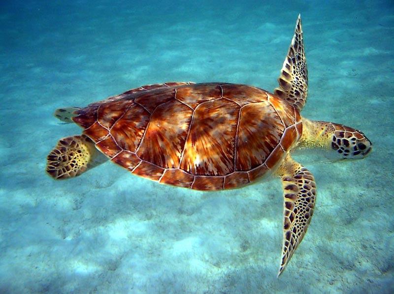 La Dominique tortue de mer