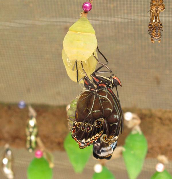 Eclosion de papillon dans une mariposa à Mindo en Equateur