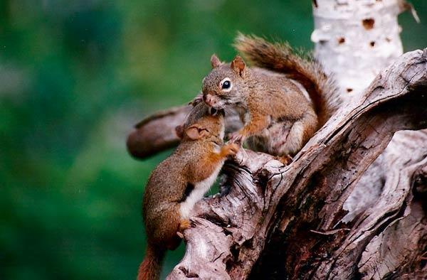 Ecureuils au Canada