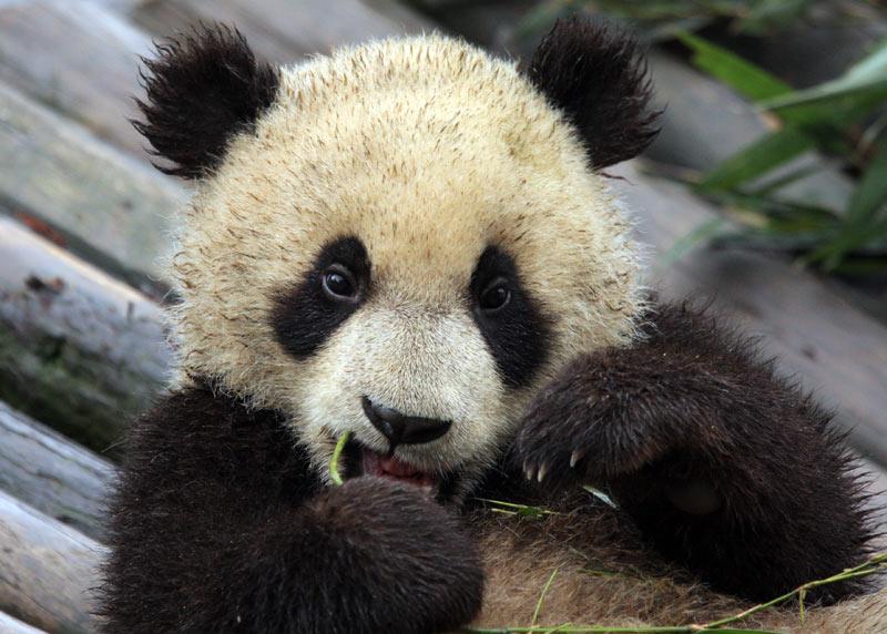 expérience de voyage panda géant