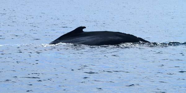 Baleine aux Galapagos