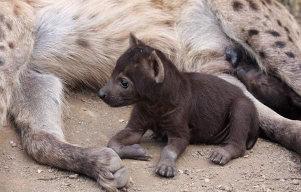 Bébé hyène entre les pattes de sa mère
