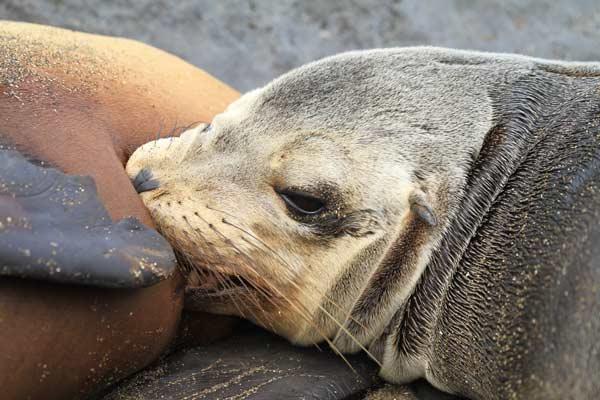 Bébé lion de mer tétant sa mère aux galapagos