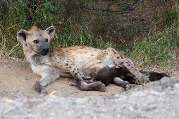 Bébés hyènes têtant leur mère dans le parc Kruger