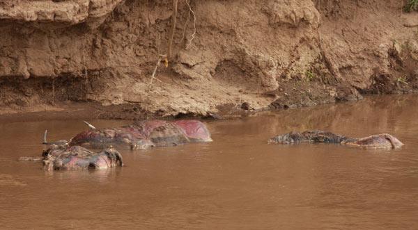 Cadavres de gnous flottant dans la rivière Mara
