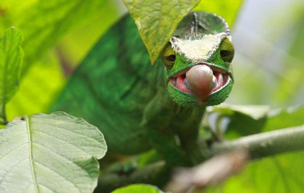 Caméléon attrapant une sauterelle