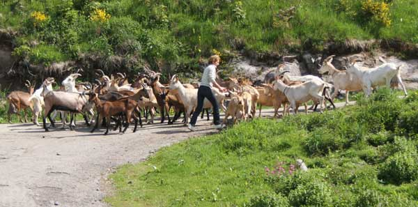Chèvres en route vers les pâturages