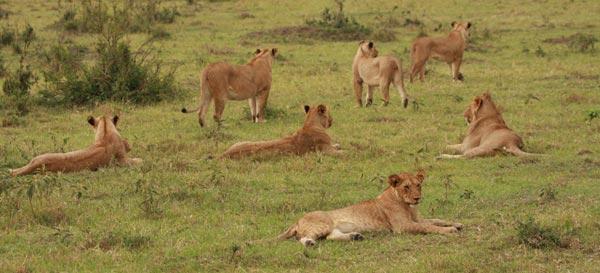 Clan de lions