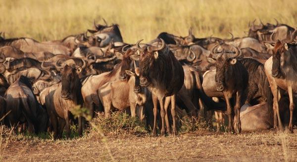 Convoi de gnous lors de la grande migration