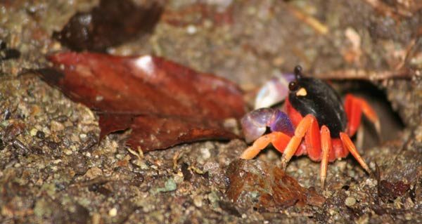 Crabe de terre rouge
