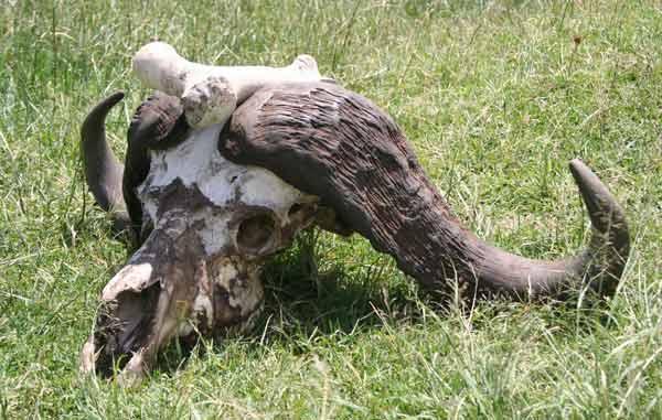 Crâne, agence de voyages safari