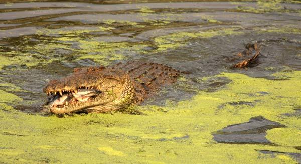 Crocodile avalant un poisson