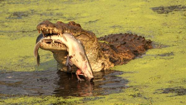 Crocodile happant un poisson