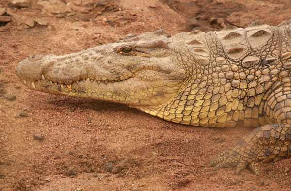 Crocodile après le festin lors de la grande migration