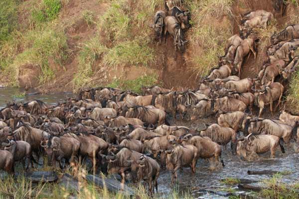 Grande migration : le crossing